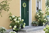 Hydrangea arborescens und paniculata (Strauch-Hortensien)