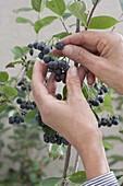 Beeren von Aronia melanocarpa (Apfelbeere) pflücken