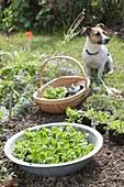 Feldsalat im Spätsommer in den Garten pflanzen