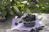 Frisch gepflueckte Beeren von Aronia (Apfelbeere)