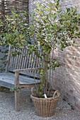 Aronia melanocarpa (Apfelbeere) in Korb auf Kiesterrasse, Holzbank