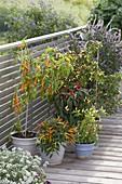 Peperoni und Chili (Capsicum frustescens, C. annuum)