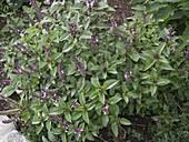 Strauch-Basilikum 'African Blue' (Ocimum kilimandscharicum x basilicum