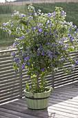 Solanum rantonnetii syn. Lycianthes (Enzianbaum) im Holzkuebel