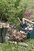 Ab September ist Pflanzzeit für Blumenzwiebeln