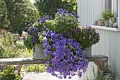 Selbstgebauter Holzkasten blau bepflanzt : Petunia 'Sky Blue' (Petunie)