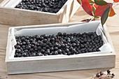 Schwarze Beeren von Aronia - Apfelbeere zum Trocknen