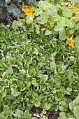 Spinat 'Matador' (Spinacia oleracea) im Spätsommer ausgesät