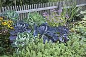 Rosenkohl 'Rubine' 'Groninger' (Brassica oleracea var. gemmifera)
