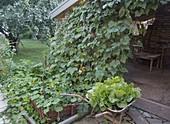 Sichtschutz durch Kletterbohne (Phaseolus) an Rankhilfe am Gartenhaus