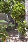 Mediterrane Sitzecke mit Citrofortunella microcarpa (Calamondine)