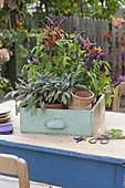 Chili 'Pretty in Purple' (Capsicum frutescens) und Salbei 'Purpurascens'