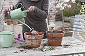 Brokkoli in Tontoepfen ziehen