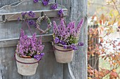 Erica gracilis 'Beauty Queens' (Topferika) in kleinen Terracotta-Toepfen