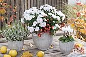 weiße Herbstblueten : Chrysanthemum (Herbstchrysanthemen)