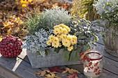 Cineraria maritima (Silberblatt), Chrysanthemum (Herbstchrysantheme)