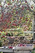 Apfelbaum (Malus) mit vielen Früchten im Spätherbst