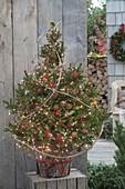 Picea orientalis (Orient-Fichte) als lebender Weihnachtsbaum