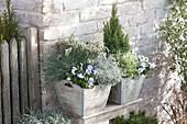 Holzkuebel in silbergrau bepflanzt : Festuca cinerea 'Azurit'