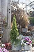 Zink-Kübel mit Picea glauca 'Conica' (Zuckerhutfichte), Calluna 'Helena'