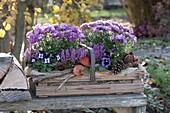 Holzkorb mit Chrysanthemum (Herbstchrysanthemen), Viola cornuta