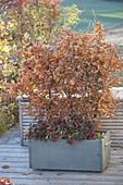 Holzkasten mit Fagus sylvatica (Rotbuche) und Gaultheria procumbens
