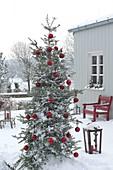 Abies koreana (Koreatanne) mit roten Kugeln als Weihnachtsbaum