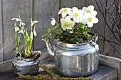 Helleborus niger (Christrose) und Galanthus nivalis (Schneeglöckchen)