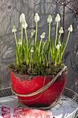Muscari armeniacum 'White Magic' (weiße Traubenhyazinthen)