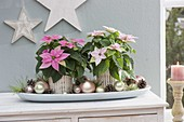 Euphorbia pulcherrima 'Princettia Soft Pink' 'Princettia Hot Pink'