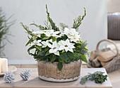 Schale mit Euphorbia pulcherrima, Poinsettia 'Glace Early'
