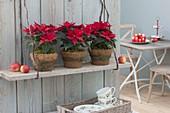 Euphorbia pulcherrima, Poinsettia 'Jester Red'(Weihnachtssterne)