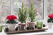 Cyclamen (Alpenveilchen) und Picea glauca 'Conica' (Zuckerhutfichten)