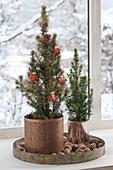Picea glauca 'Conica' (Zuckerhutfichten) in kupfernen Uebertoepfen