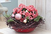 Rhododendron simsii (Zimmerazalee) weihnachtlich mit Kranz