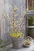 Hamamelis intermedia 'Pallida' (Zaubernuss) mit schwefelgelben Blüten