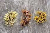 Hamamelis - Tableau : Zweige von Hamamelis intermedia 'Pallida'