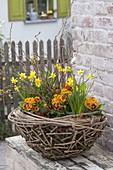 Korb-Schale aus Zweigen mit Ranke von Clematis, bepflanzt mit Narcissus