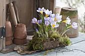 Crocus chrysanthus 'Blue Pearl' (Krokusse) in Moos auf Rinde