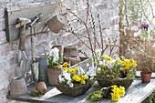 Fruehlingskoerbe bepflanzen : Eranthis (Winterlinge), Scilla (Blausternchen)