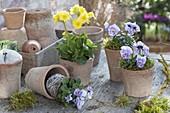 Primula elatior (Hohe Primel) und Viola cornuta (Hornveilchen)