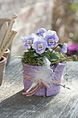 Viola cornuta (Hornveilchen) im Filzmantel, Feder als Deko