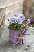 Viola cornuta (Hornveilchen) im Filzmantel, Palmkätzchen als Deko