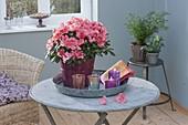 Rhododendron simsii (Zimmerazalee) auf Tablett