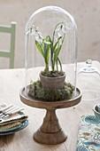 Galanthus nivalis (Schneeglöckchen) unter Glasglocke