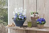 Blaue Schale mit Viola cornuta (Hornveilchen) und Scilla (Blausternchen)