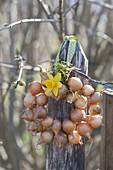 Kranz aus Steckzwiebeln (Allium cepa) mit Blüte von Narcissus