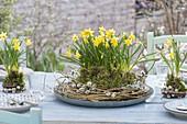 Tischdeko mit Narcissus 'Tete a Tete' (Narzissen)