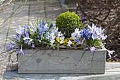 Holzkasten mit Buxus (Buchs), Crocus (Krokusse), Scilla (Blausternchen)