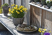 Narcissus 'Tete a Tete' (Narzissen) in Korb auf Bank, Kranz aus Salix
